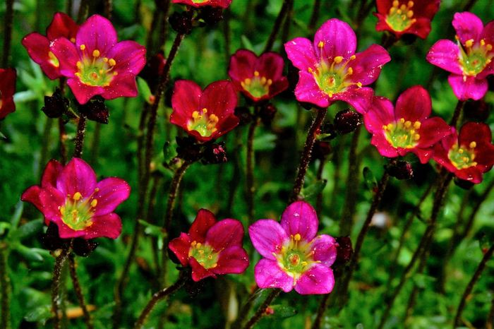 Saxifraga Beauty In Nature Botany Close-up Day Flower Flower Head Flowering Plant Focus On Foreground Fragility Freshness Growth Inflorescence Nature No People Outdoors Petal Pink Color Plant Pollen Purple Saxifrage Flower Spring Vulnerability