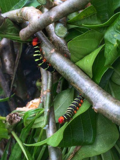 Caterpillars seen on August 3, 2014 in Trinidad. #LifeInAVillage
