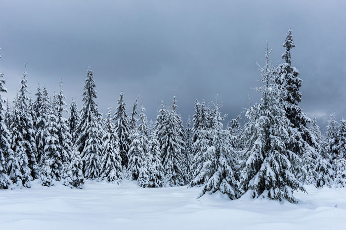 Magic winter holiday concept. Fir trees covered with snow Christmas Fairy Winter Mountains Winter Vacation Winter Landscape Wintertime Xmas Beauty In Nature Cold Temperature Day Fir Trees Idyllic Nature No People Outdoors Scenery Scenics Snow Snow Covered Landscape Snow Covered Trees Winter Winter Holidays Winter Magic Winter Trees Winter Wonderland