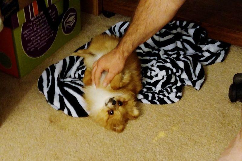 Puppy Love ❤ Puppylife Pomeranian Ladysif Tummyrubs Sweetlove Spoiledprincess Spoiledbaby  Things I Like
