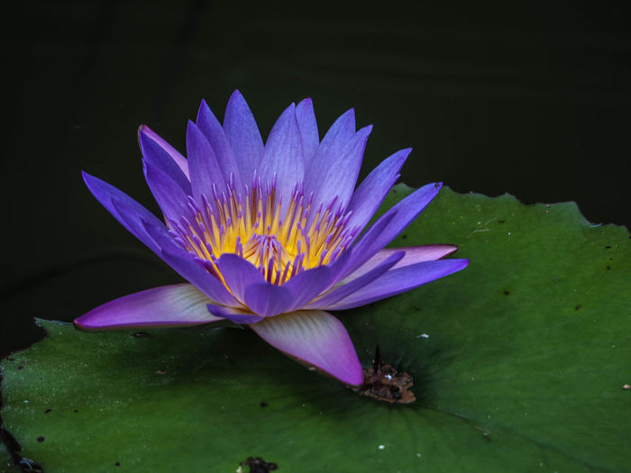 Beauty In Nature Close-up Day Floating On Water Flower Flower Head Fragility Freshness Growth Leaf Lily Pad Lotus Lotus Water Lily Nature No People Outdoors Petal Plant Pond Water Water Lily
