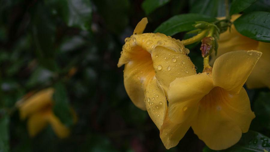 Close-up of wet yellow flower in rainy season