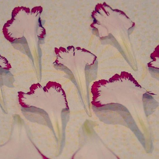 Flower Petal Carnation Oeillet Dark Pink By Motorola Tunisia ... وتبقى جميلة :)