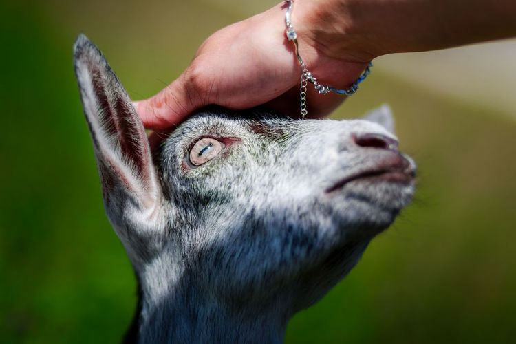 Human Hand Touching Goat