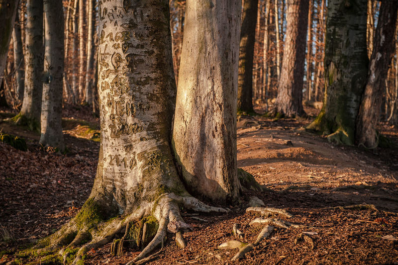 Trees Growing In Forest At Morning