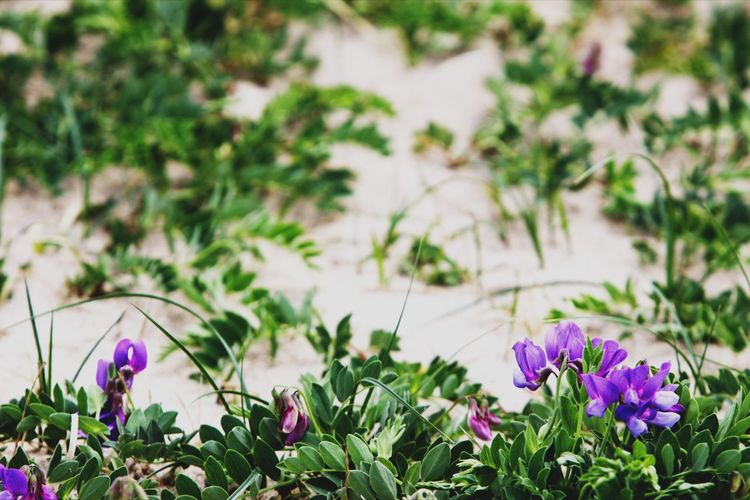 Sea pea, also known as Beach pea. Sea Pea Beach Beach Pea Beauty In Nature Bloom Blooming Close-up Crocus Day Flower Flower Head Flowers Focus On Foreground Fragility Freshness Green Color Growth Nature No People Outdoors Petal Petunia Plant Purple Sand
