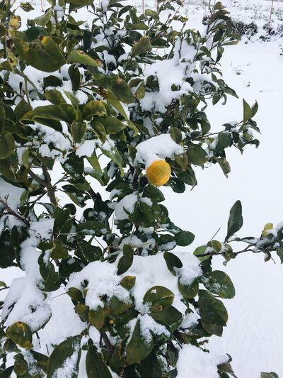 Snow Villafrati Citrus  Sicily
