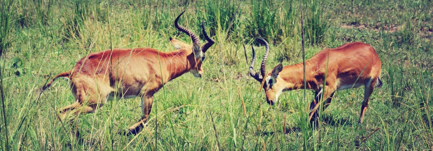 Africa Safari Gazelle Uganda