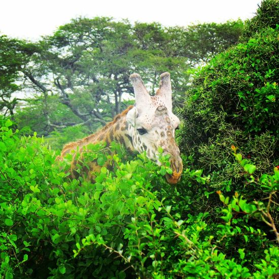 Graffe Animal Photography Wild Animal Africa African Safari Savanah Nice Day Greens Tree @kenya