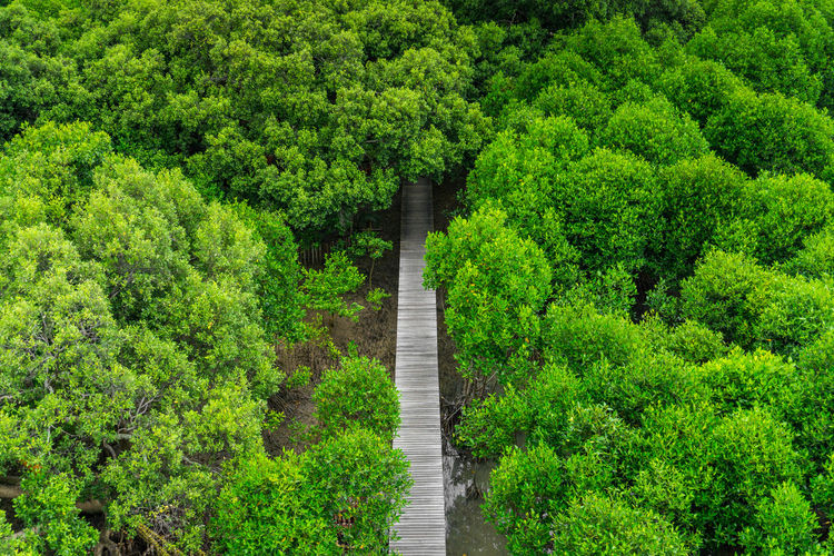 The Bridge Made From Wooden And Through Walk Way To Mangrove Forest in Rayong, Thailand. Nature Learning Path. Concept Walk To Nature, Hope, Explorer Plant Green Color Tree Growth Footpath Forest Nature Lush Foliage Beauty In Nature Foliage Direction Tranquility The Way Forward No People Day Land Tranquil Scene Scenics - Nature Outdoors Environment WoodLand Evergreen Tree Garden Path Hedge