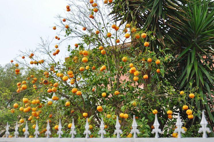 fresh fruits Tree Flower Fruit Branch Sky Green Color Plant Close-up Orange Tree Fruit Tree Growing Orange - Fruit Tangerine Citrus Fruit