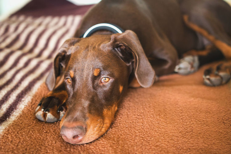 Animal Themes Brown Color Brown Doberman Brown Dog Cute Animals Doberman  Dobermann Dog Dog Laying On Grass Dog On Bed Dog Portrait Dog Waiting Dogs Europen Doberman Pet Pet Photography  Sad & Lonely Sad Dog Sad Dog Eyes Sad Face Sadness Thinking Tired Tired Dog Waiting