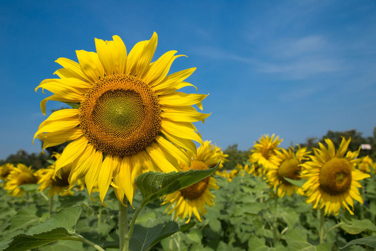 Sunflower fields are beautifully colored and the sky is bright. Agriculture Green Color Holiday Nature Yellow Flower Flower Flower Collection Flowers Garden Helthy  Helthyfood Outdoors Park Sky Sun Flower Sun Flowers Yellow