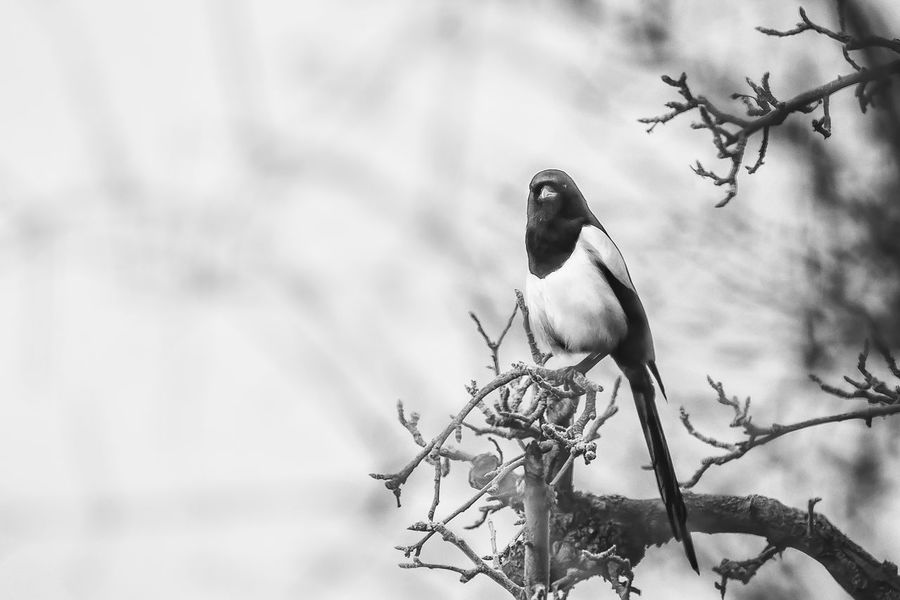 misty eyed Animal Themes Animal Wildlife Animals In The Wild Beauty In Nature Bird Black & White Blackandwhite Branch Close-up Day Focus On Foreground Fog Low Angle View Magpie Misty Nature No People One Animal Outdoors Perching Pica Pica Tree Nusshain 12 16