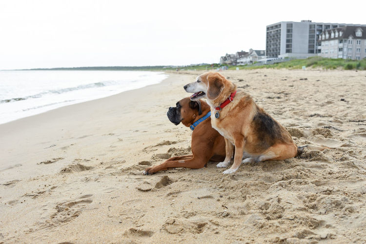 Dog Days of Summer Boxer Dog Dogs Friends Friendship. ♡   Love Animals Beach Canine Companion Day Dog Domestic Friendship Nature No People Ocean Outdoors Pets Relaxation Sand Shore Together Togetherness Two Dogs Water