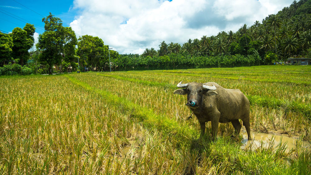 Asian Water Buffalo posing in rice field Asian Water Buffalo Beast Beast Of Burden Bicol Bovine Bubalus Bubalus Bubalis Carabao Farm Animal Golden Field Horned Horned Animal It's More Fun In The Philippines Philippines Photos Province Rice Farm Rice Fields  Rice Paddies Rice Planting Sorsogon Tropical Plants Village Lifestyle Village Photography Water Buffalo Working In The Field
