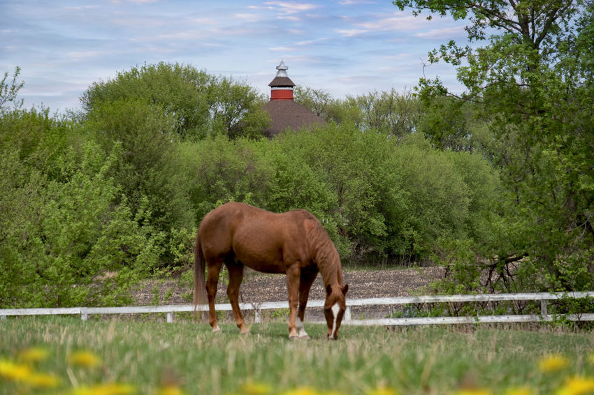 Grazing Horse Animal Day Domestic Animals Grass Horse Land Livestock Nature No People One Animal Outdoors Red Barn