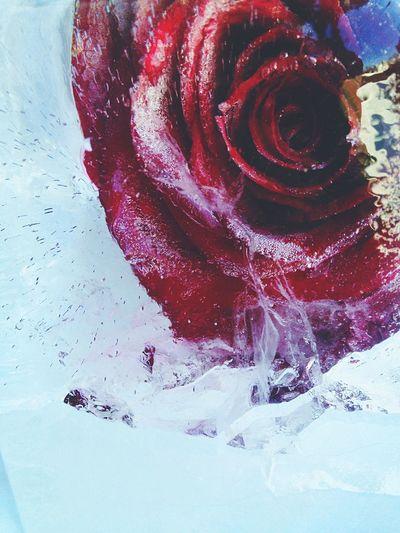 Frozen Rose? Snow Frozen Roses