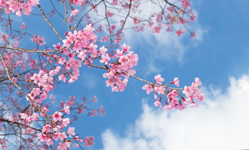 Beauty In Nature Blooming Blossom Botany Branch Cherry Blossom Cherry Tree Day Flower Flower Head Fragility Freshness Growth Low Angle View Nature No People Outdoors Petal Pink Pink Color Plum Blossom Sky Springtime Tree Twig