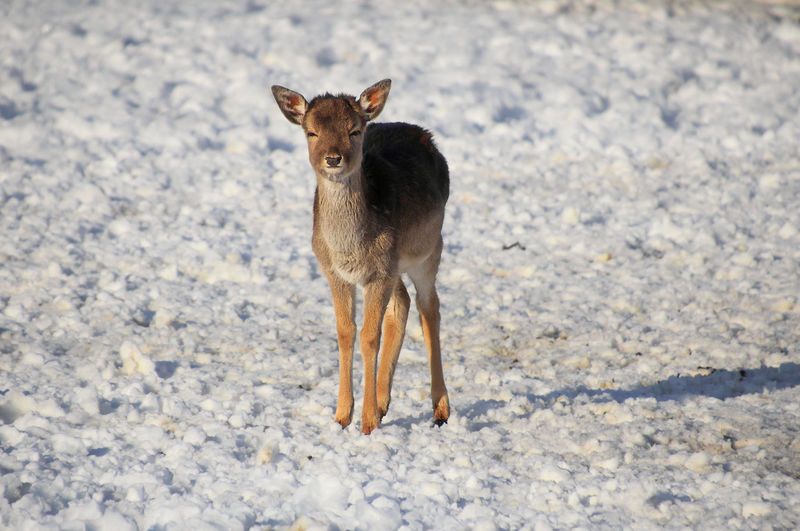 Beautiful Deer On Snow Land Animal Animal Themes One Animal Snow Full Length Day No People Looking At Camera Nature Animal Wildlife Winter Land Cold Temperature Young Animal Deer Animals In The Wild Animal Photography Animal_collection Outdoors
