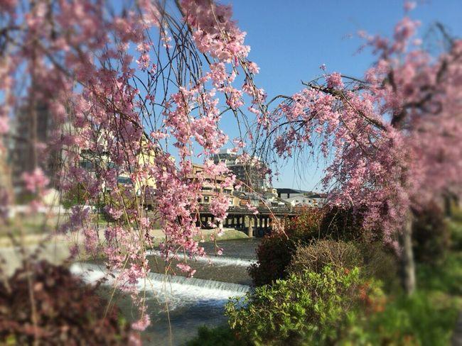 Cherry Blossoms Kyoto Sakura Kyoto,japan Kyoto Sakura 2017 Sakura 2017 Sakura Kyoto Spling Kyoto Bridge