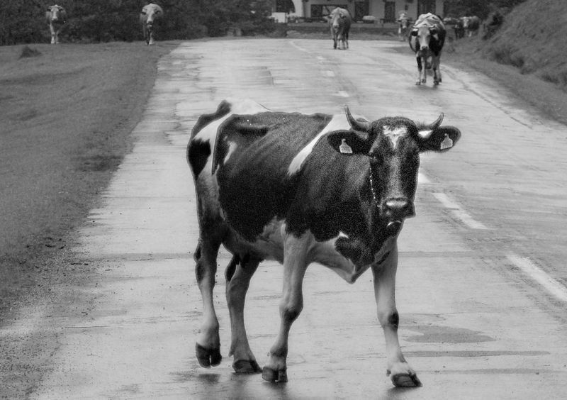 Animal Themes BNW_farm_animals Bnw_friday_eyeemchallenge Domestic Animals Livestock Nature No People Road Cow