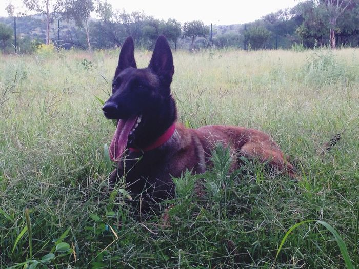 Dog Belgian Malinois Pets Domestic Animals Grass Animal Themes One Animal Field Mammal Outdoors Day No People Nature Sky Malinois Belgian Shepherd Friends Shampo