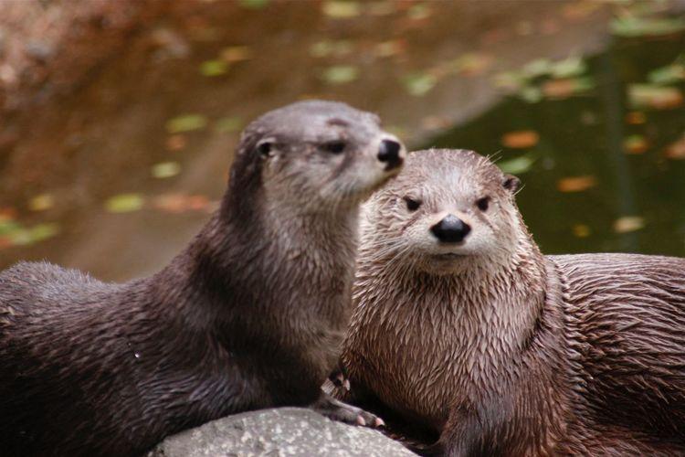 Otter Animal