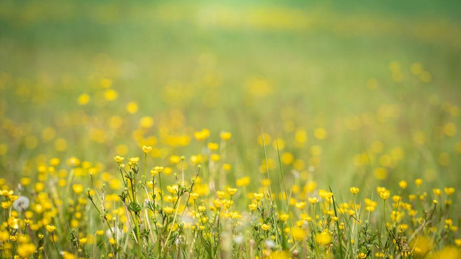 Yellow flowering plants on field