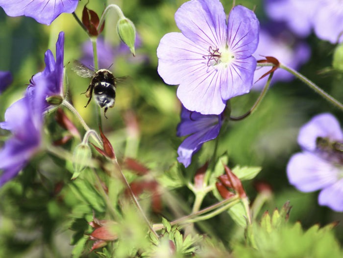 Close-up of bee pollinating on purple flowering
