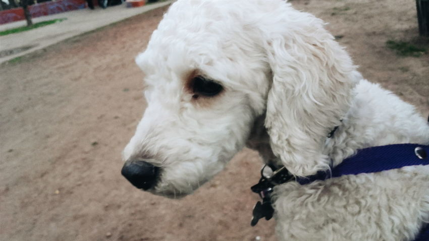 VSCO Cam Plaza Parque  Outside Streetphotography Cute Perro Dog Cute Pets Tierna Blanca Cokie Caniche Toy