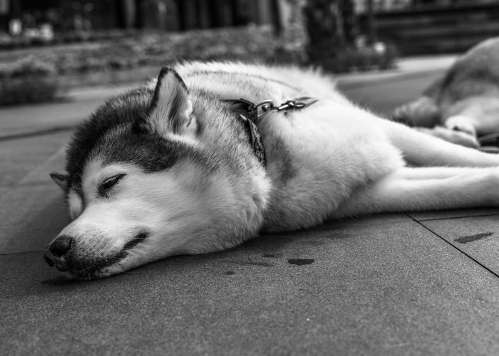 """Monday."" (1/3) · BGC, Philippines · © Marvin Grey Pets Dogs Dogs Of EyeEm Husky Huskyphotography Huskyphotography Husky ♡ Black & White Blackandwhite Photography Bnwphotography Bnw Black And White Street Photography Streetphotography Black And White Photography Blackandwhitephotography BGC BGC, Taguig BGC Taguig Pets Dog Lying Down Relaxation Sleeping Close-up"