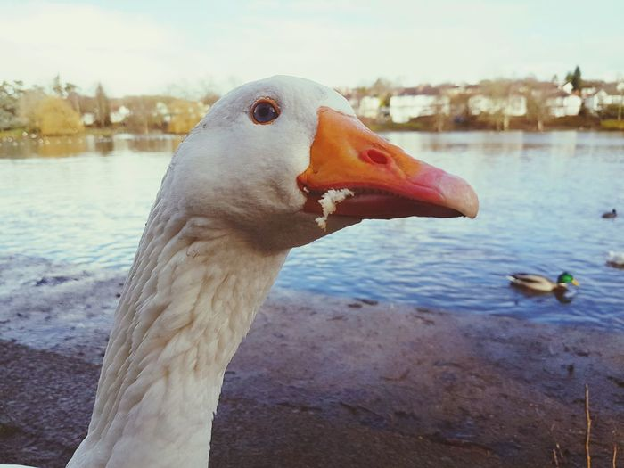 Close-up portrait of swan in front of water