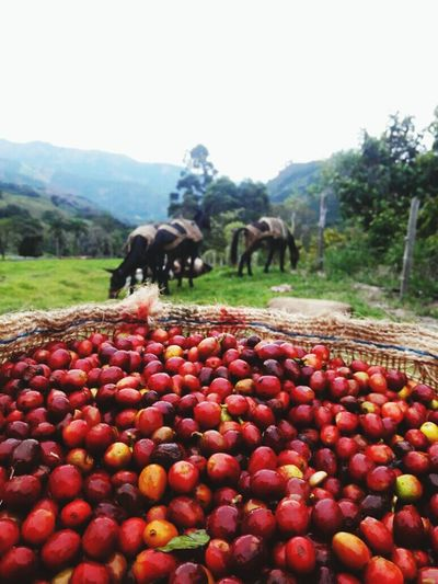 Agriculture Colombia Coffee