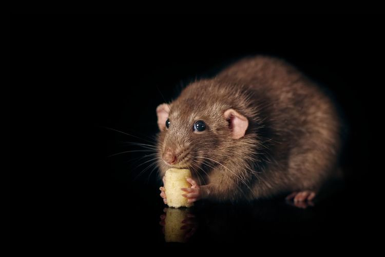 Closeup of a rodent eating a piece of cheese. Rats Of EyeEm Animal Themes One Animal Mammal Black Background Animal Wildlife Studio Shot Rodent Rat No People Eating Food And Drink Animal Body Part Profile View Whisker Food Close-up Portrait Pentax Rodentlove Pest Temptation Animal FUNNY ANIMALS Pets