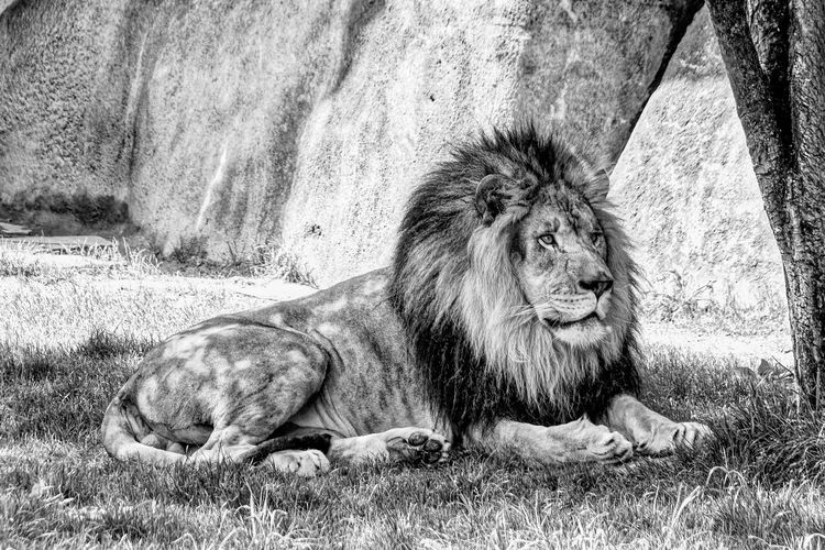 Relaxed lion looking away