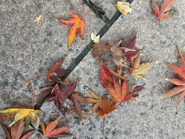 秋 Autumn 紅葉 Autamn Leaves