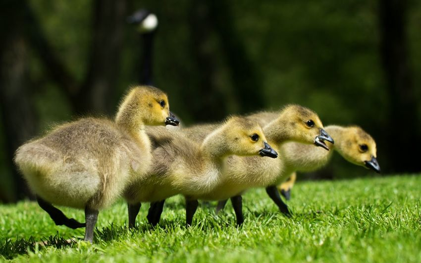 Close-Up Of Ducklings On Grassy Field
