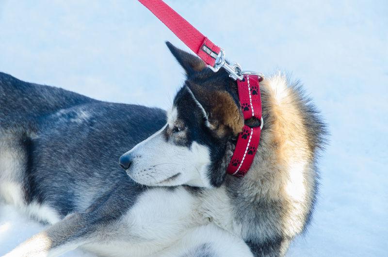 Sledge Dog in Lenk, Switzerland. Animal Themes Competition Dog Lenk Nature No People One Animal Outdoors Pets Sledge Dog Switzerland Winter