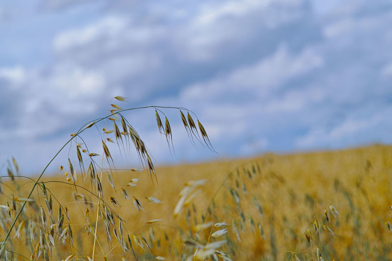 Field Crop  Agriculture Plant Land Landscape Sky Cereal Plant Growth Rural Scene Beauty In Nature Cloud - Sky Tranquility Nature Farm Wheat Day Tranquil Scene No People Selective Focus Outdoors Oat - Crop Stalk Plantation Haferfeld