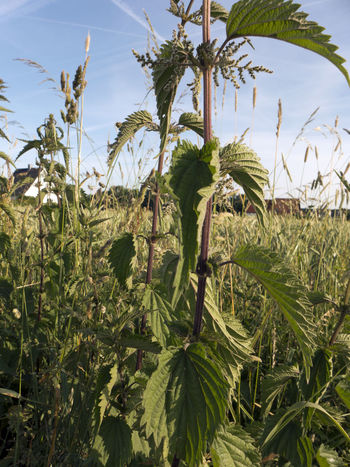 Agriculture Beauty In Nature Blue Sky Foliage Grass Grassland Green Color Growth Healthy Herb Herbal Leaf Leafs Leaves Meadow Nature Nettle Plant Sky Stinging Nettles