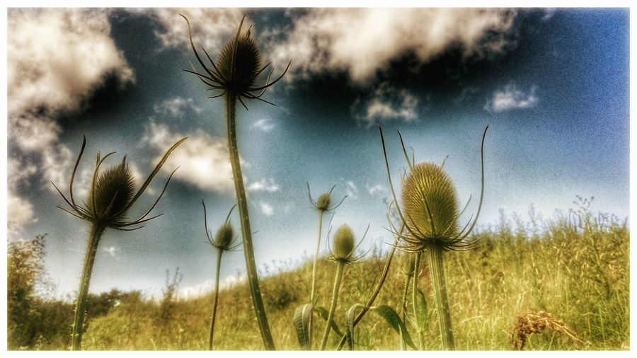 Check This Out Thistles Sky PornNature Photography Thistle Flower Cloud Porn Soft Grunge Summer Days Taking Photos Natures Architecture Natures Diversities Spikey Plant Taking Photos Tadda Community Popular Photos Hdr Snapseed Snapseed Editing  Sony Xperia Z3 The Great Outdoors - 2017 EyeEm Awards