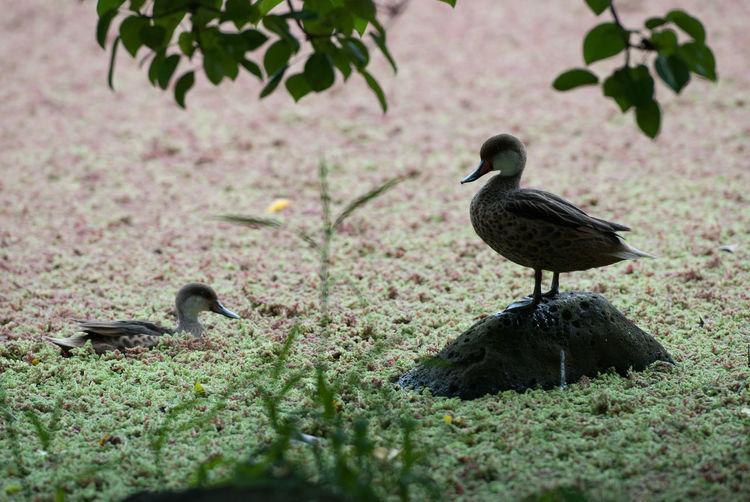 Galapagos Pin Tailed Duck