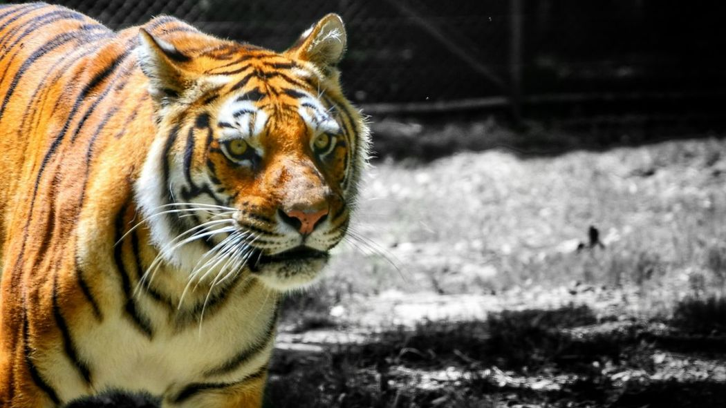 Scanaki Tiger Check This Out Enjoying The View Nature Is Beautiful Summer Memories 🌄 Sunny Sunday Close-up From My Point Of View Colors And Black And White Animals Tigre One Animal Animal Themes Mammal Animal Wildlife Nature Outdoors Focus On Foreground No People Day The Creative - 2018 EyeEm Awards