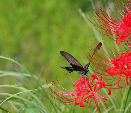 優しい夢を… Butterfly 彼岸花 Taking Photo Nature Beauty In Nature Butterfly - Insect アゲハ蝶 From My Point Of View EyeEm Nature Lover Green Nature