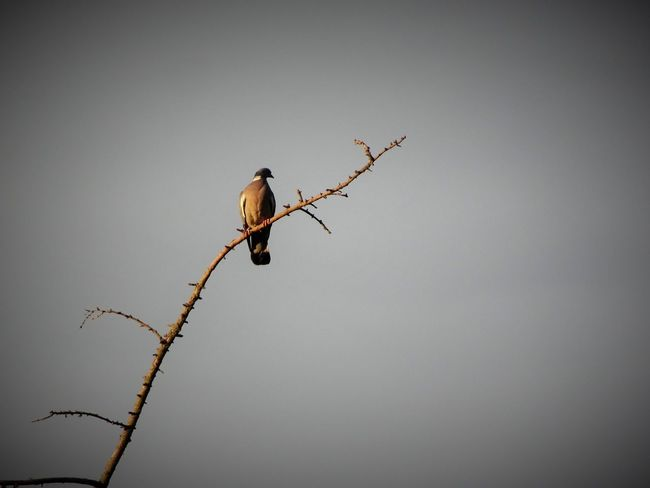 Animal Animal Themes Animal Wildlife Animals In The Wild Bird Branch Clear Sky Copy Space Day Low Angle View Nature No People One Animal Outdoors Perching Plant Sky Tree Vertebrate Vignette