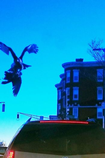 Hounting Pegion Murder Birds Nature Sky Car Roxbury Massachusetts Hawk