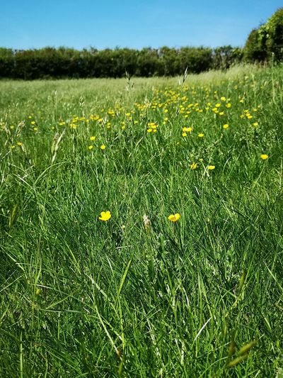 Yellow flowers on field