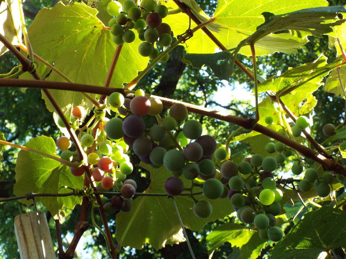 Agriculture Bunch Close-up Concord Concord Grape Vine Concord Grapes Food Freshness Fruit Fruit Photography Fruits Fruits And Vegetables Grape Green Color Growing Healthy Eating Leaf Nature No People Outdoors Ripe Vegan Food Vegetarian Food Vine Vineyard