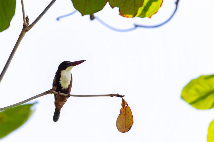 White-throated Kingfisher. Bird Birds Bird Photography Birds Of EyeEm  White-throated Kingfisher Kingfisher Bird Kingfisher Birds Of EyeEm Kingfisher Bird Closeup